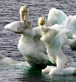 Polar bears stranded on iceberg